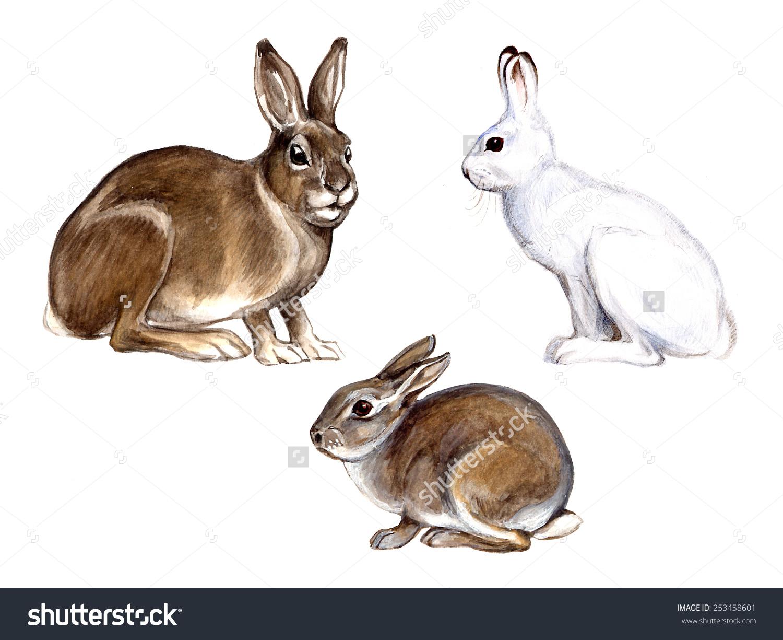 European Hare Lepus Europaeus Mountain Hare Stock Illustration.