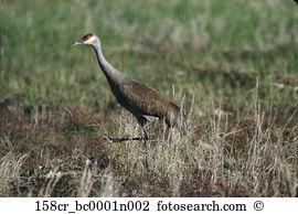 Sandhill crane Images and Stock Photos. 1,054 sandhill crane.