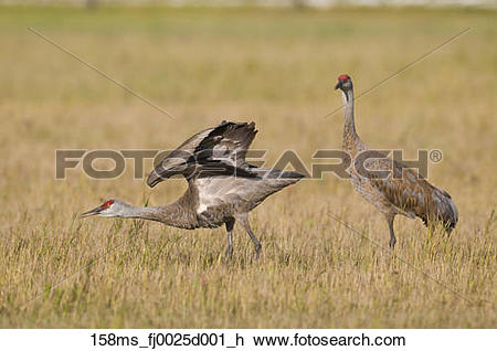 Stock Photo of Two Lesser Sandhill Cranes, one with wings extended.