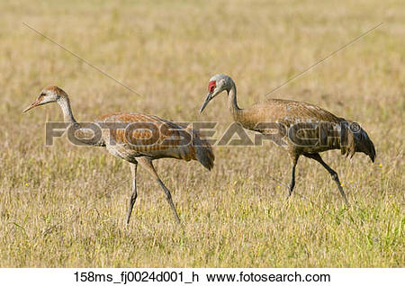 Stock Photo of Juvenile and adult Lesser Sandhill Cranes walk in.