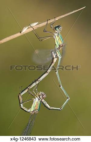 Stock Photo of Western Willow Spreadwing or Willow Emerald.