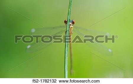 Stock Photo of DRAGONFLY Lestes viridis young female, Gipuzkoa.
