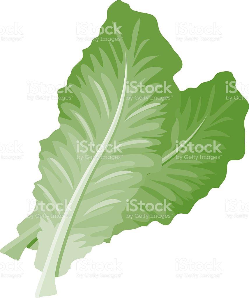 Lettuce Clip Art, Vector Images & Illustrations.