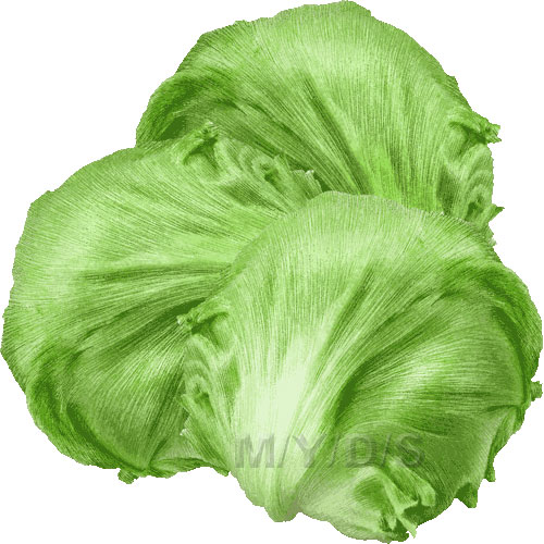 Lettuce clipart / Free clip art.