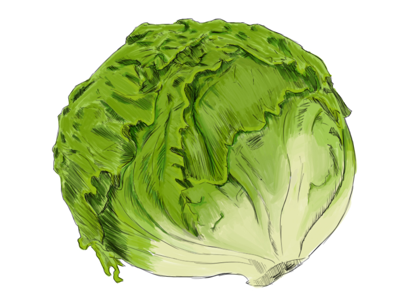 Lettuce drawing.