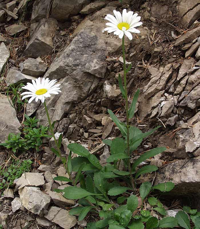 Leucanthemum adustum subsp. adustum.