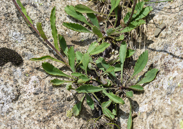 FLOREALPES : Leucanthemum adustum / Leucanthème brûlé / Asteraceae.