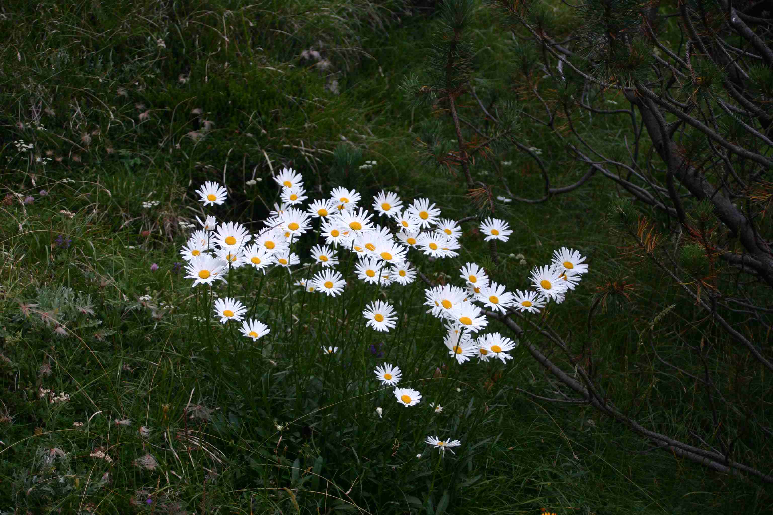 Temna Ivanjšcica (Leucanthemum Adustum), Krn Photo by Pesjaner.