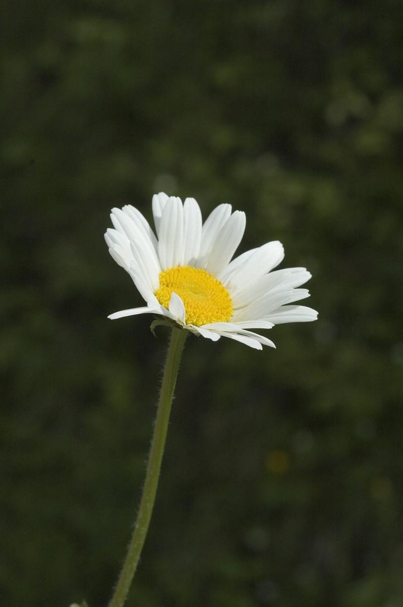 Leucanthemum adustum.