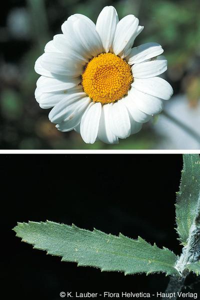 Leucanthemum adustum (W. D. J. Koch) Gremli.