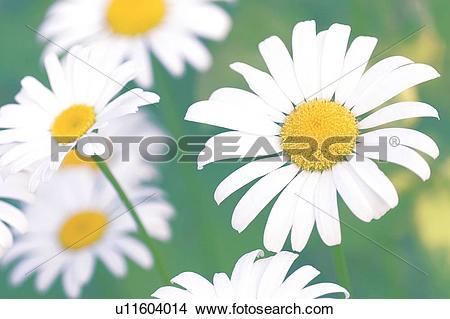 Stock Photo of Shasta daisies (Leucanthemum x superbum) u11604014.