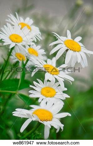 Picture of White Shasta Daisies (Leucanthemum x superbum) cluster.
