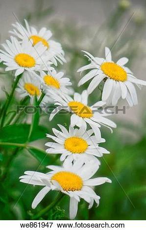 Picture of White Shasta Daisies (Leucanthemum x superbum) cluster.