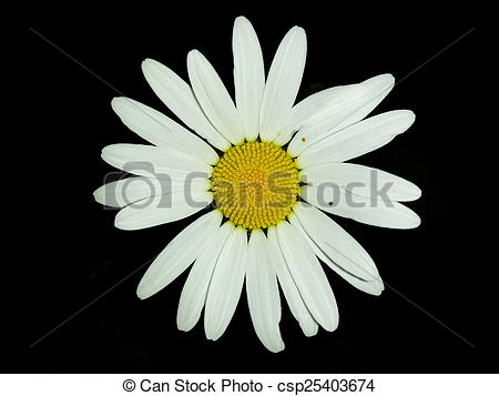 Picture of Leucanthemum vulgare (Margerite).