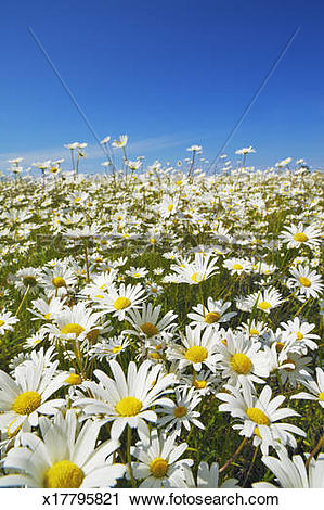 Stock Photography of A field of oxeye daisies (leucanthemum.