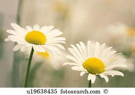 Shasta daisy Stock Photo Images. 226 shasta daisy royalty free.