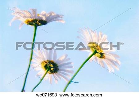 Stock Photo of Shasta Daisy Trio. Leucanthemum x superbum. May.