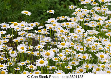 Pictures of Leucanthemum vulgare, the ox.