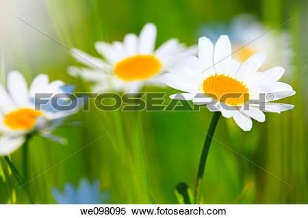Stock Image of Margerite, Leucanthemum vulgare, oxeye daisy.