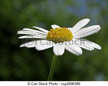 Stock Photographs of Oxeye daisy, Leucanthemum vulgare, Marguerite.