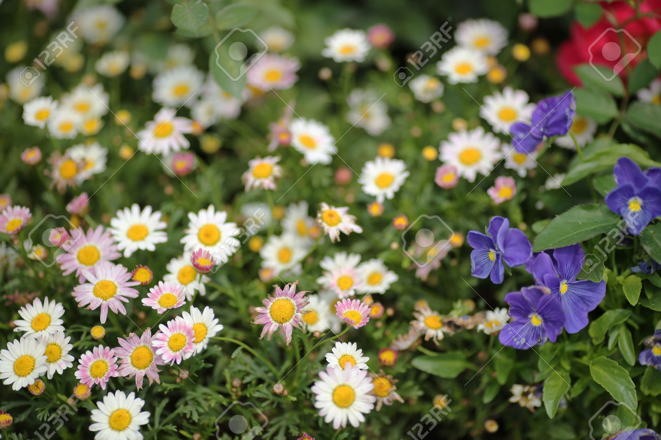 Leucanthemum Paludosum Stock Photo, Picture And Royalty Free Image.