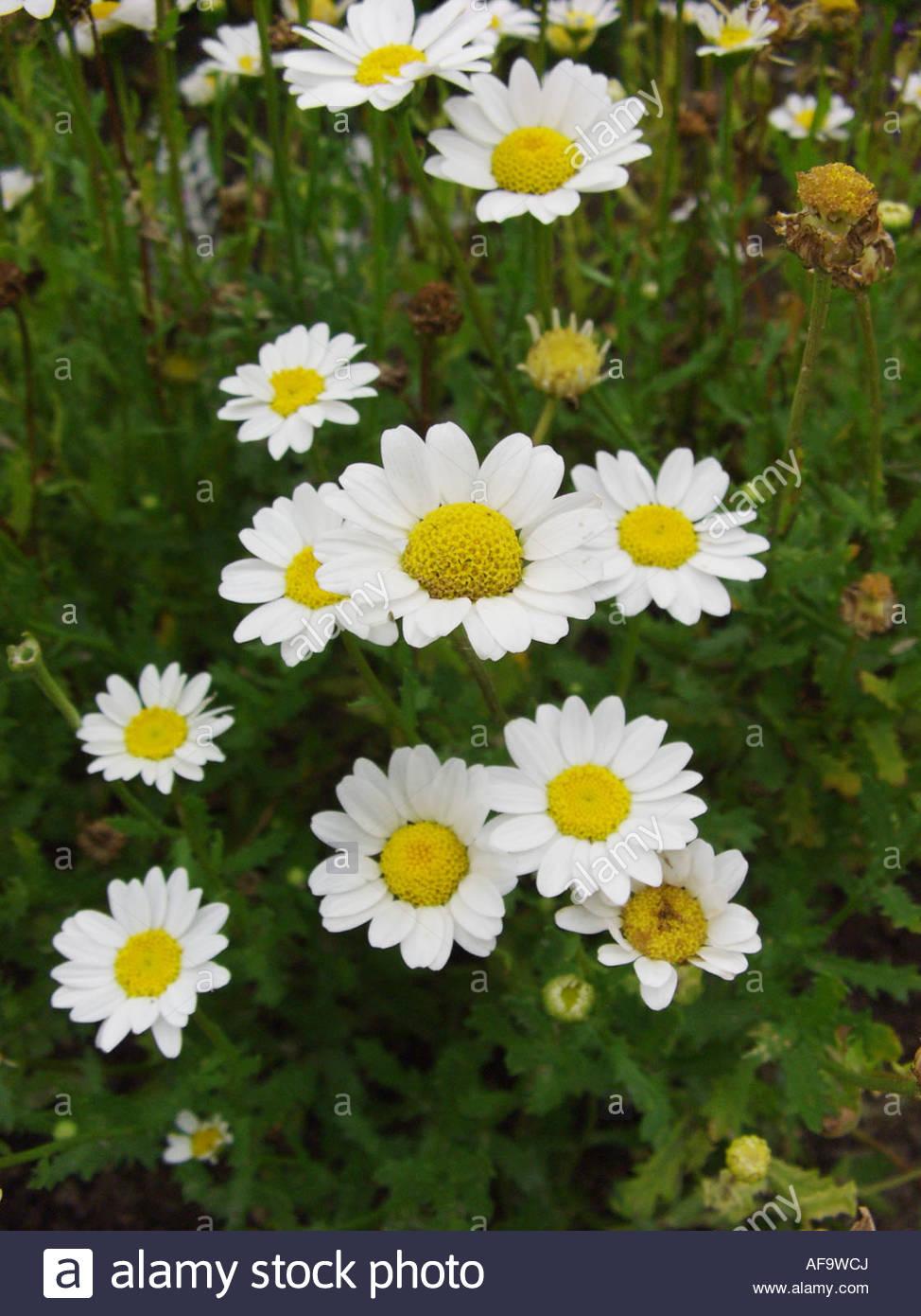 Mini Margueritte, Paludosum Daisy (leucanthemum Paludosum Stock.