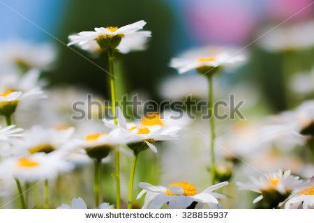 Chrysanthemum Leucanthemum Stock Photos, Royalty.