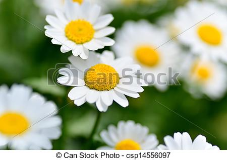 Stock Photographs of North Pole. (Leucanthemum paludosum) (Flower.