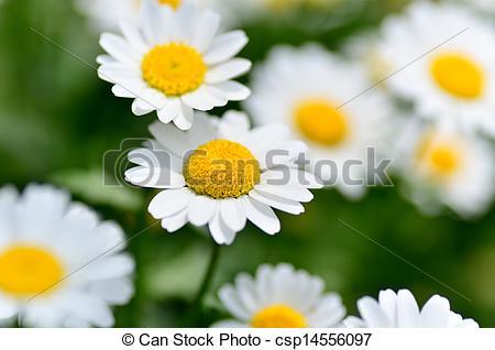 Stock Photographs of North Pole. (Leucanthemum paludosum) (Flower.