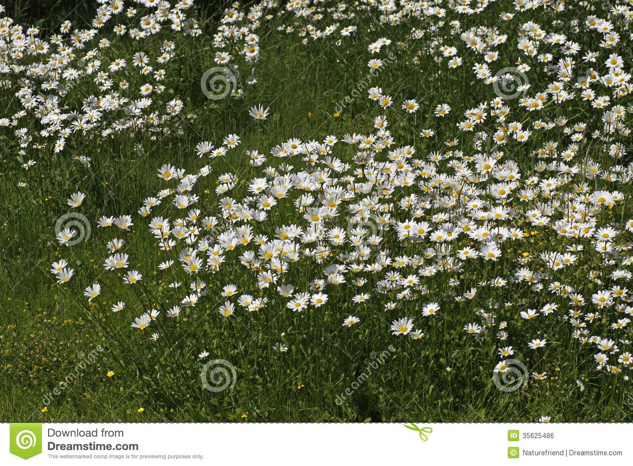Leucanthemum Vulgare, Oxeye Daisy, Marguerite In Germany, Europe.