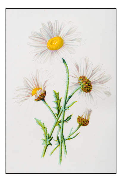 Moon Daisy Clip Art, Vector Images & Illustrations.