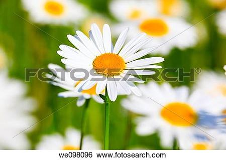 Stock Images of Margerite, Leucanthemum vulgare, oxeye daisy.