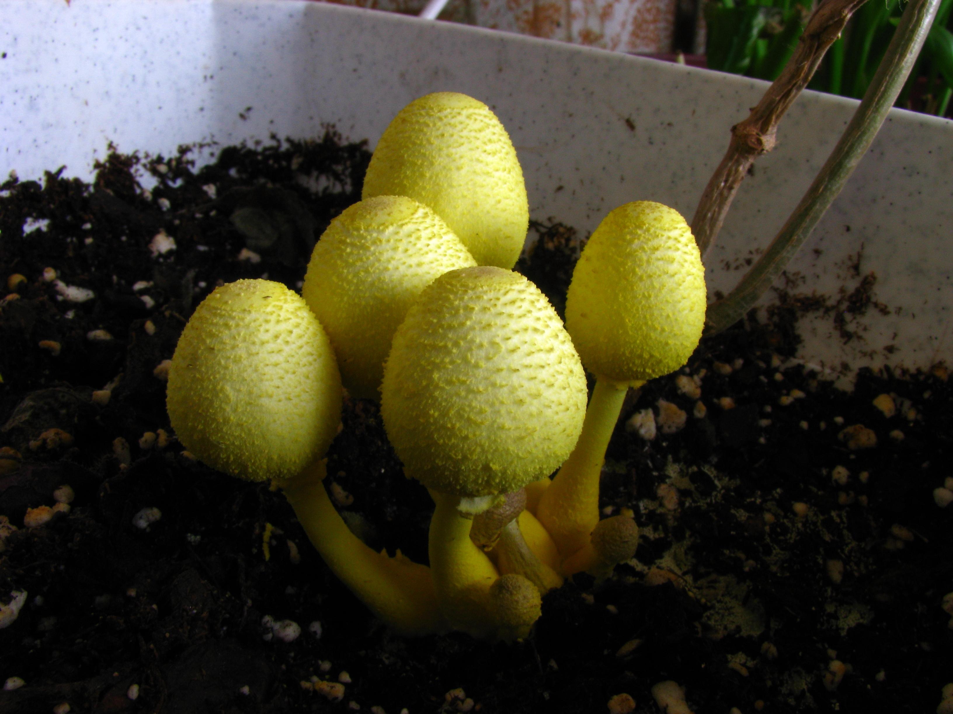 File:Leucocoprinus birnbaumii 56048.jpg.