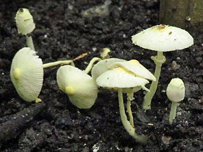 Leucocoprinus birnbaumii, Plant Pot Dapperling, identification.