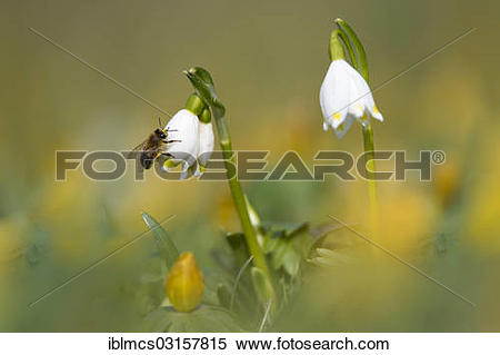 "Stock Image of ""Spring Snowflake, Summer Snowflake or Loddon Lily."