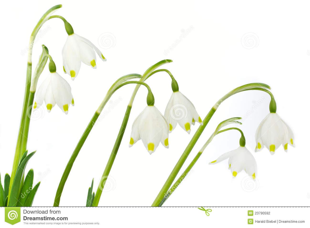 Spring Snowflake Flowers (Leucojum Vernum) Stock Photography.