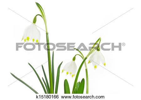 Stock Images of Spring snowflake (Leucojum vernum) k15180166.