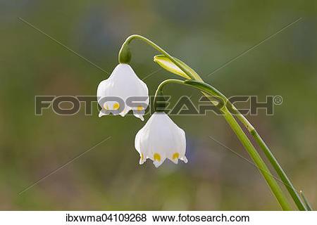 Pictures of Spring Snowflake (Leucojum vernum), Germany, Europe.