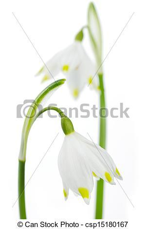 Stock Image of Spring snowflake (Leucojum vernum) on white.