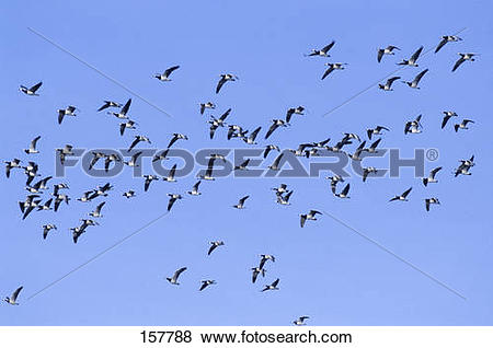 Pictures of Barnacle Geese.