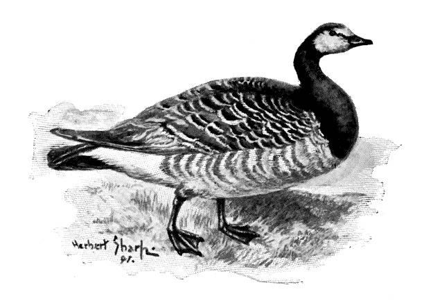 Antique Illustration Of Barnacle Goose (Branta Leucopsis) Clip Art.
