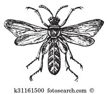 Leucopsis Clipart and Stock Illustrations. 3 leucopsis vector EPS.