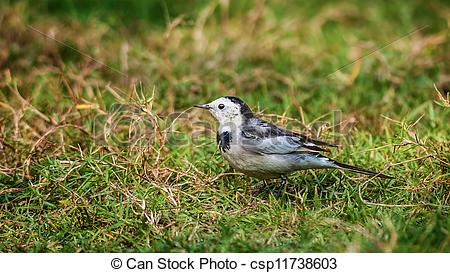 Stock Photography of Bird, White Wagtail, Motacilla alba, M. a.