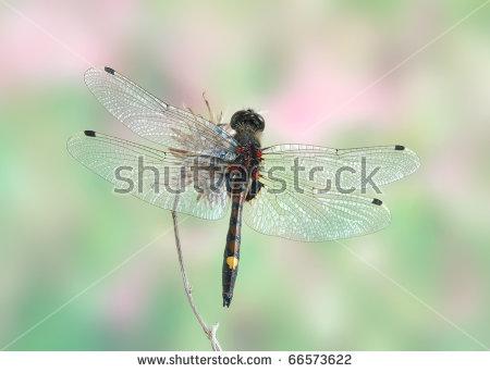 Leucorrhinia Pectoralis Stock Photos, Images, & Pictures.