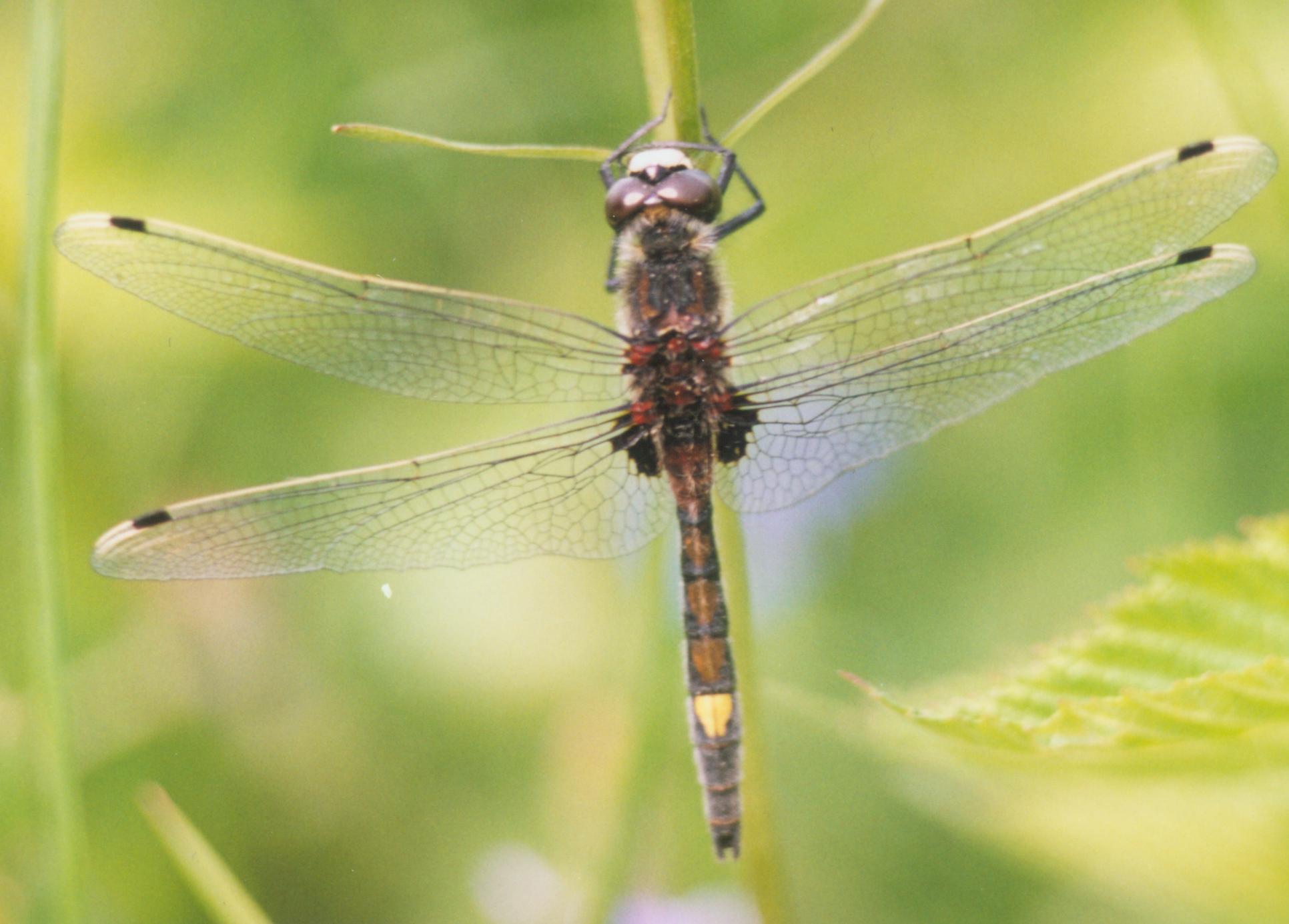 File:Leucorrhinia pectoralis male.jpg.