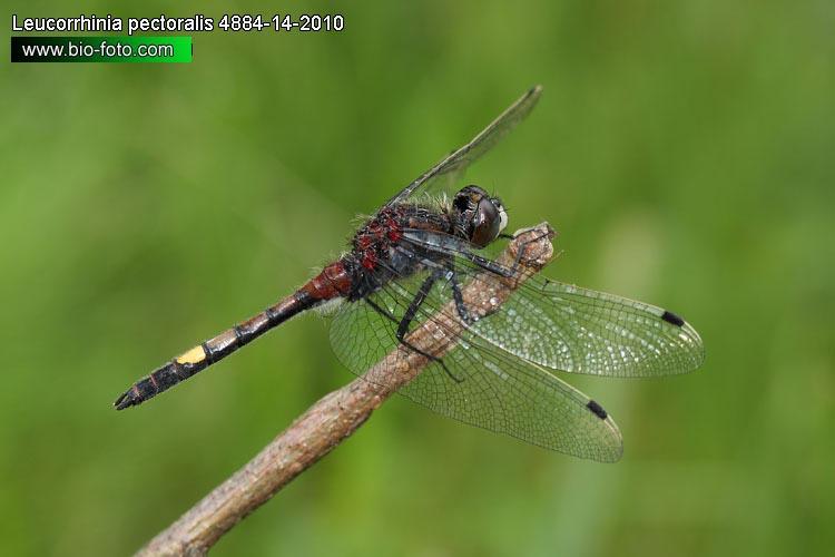 Leucorrhinia pectoralis 4884.