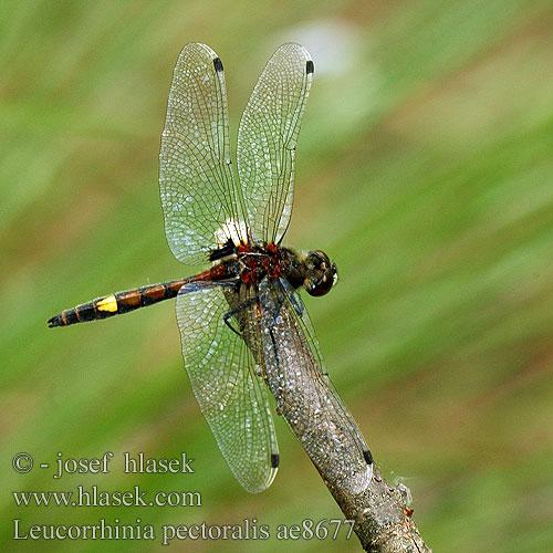 Leucorrhinia pectoralis Gevlekte witsnuitlibel Leucorrhinia grande.
