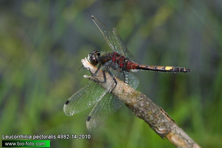 Leucorrhinia pectoralis 4882.