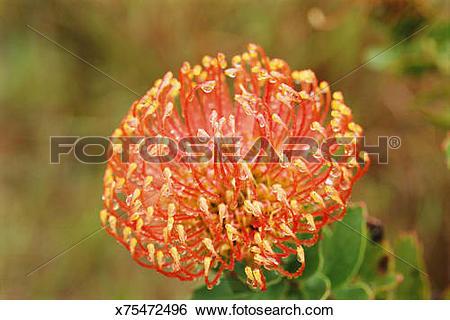 Stock Images of Nodding Pincushion Protea flower (Leucospermum.
