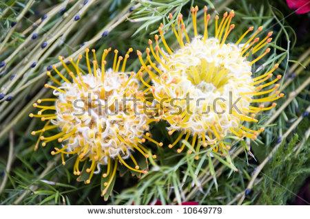 Leucospermum Cordifolium Stock Photos, Royalty.